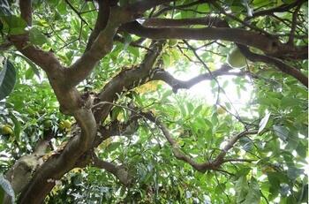 ビターオレンジの木